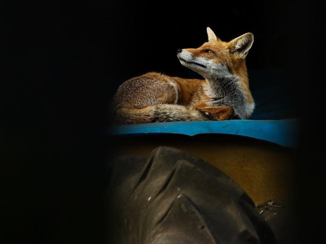 Fox by Harvey Webb