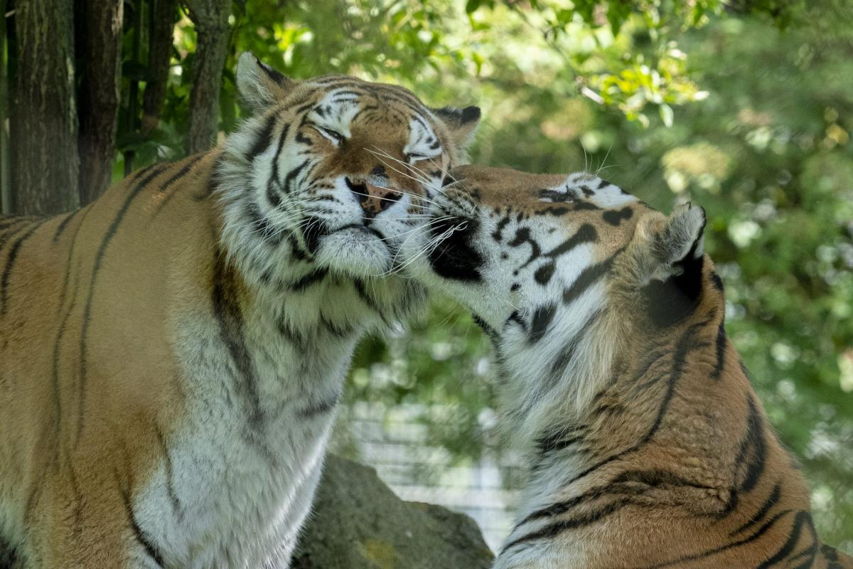 Marwell Zoo - Amur tigers Milla and Bagai