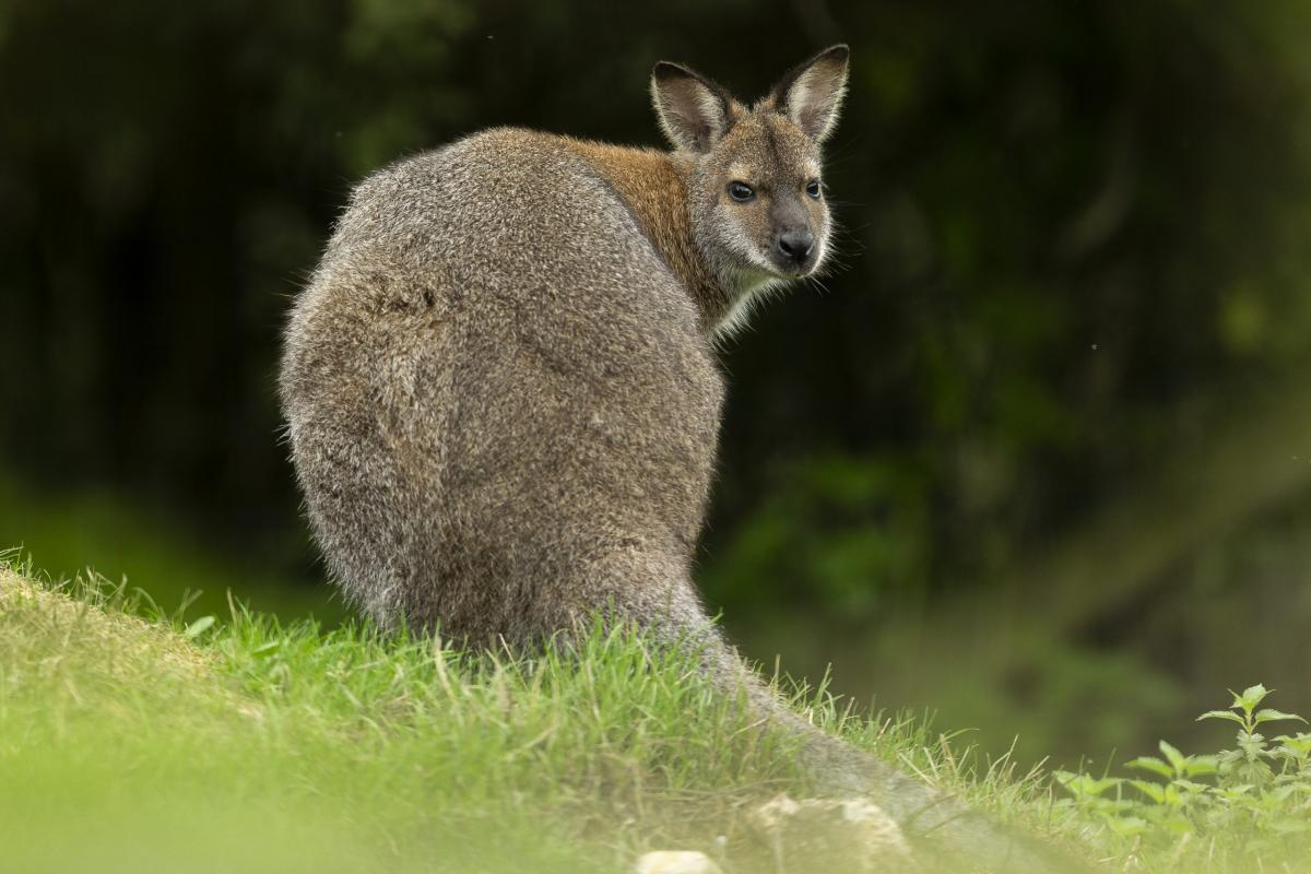 Marwell Zoo - Red-necked wallaby (2)