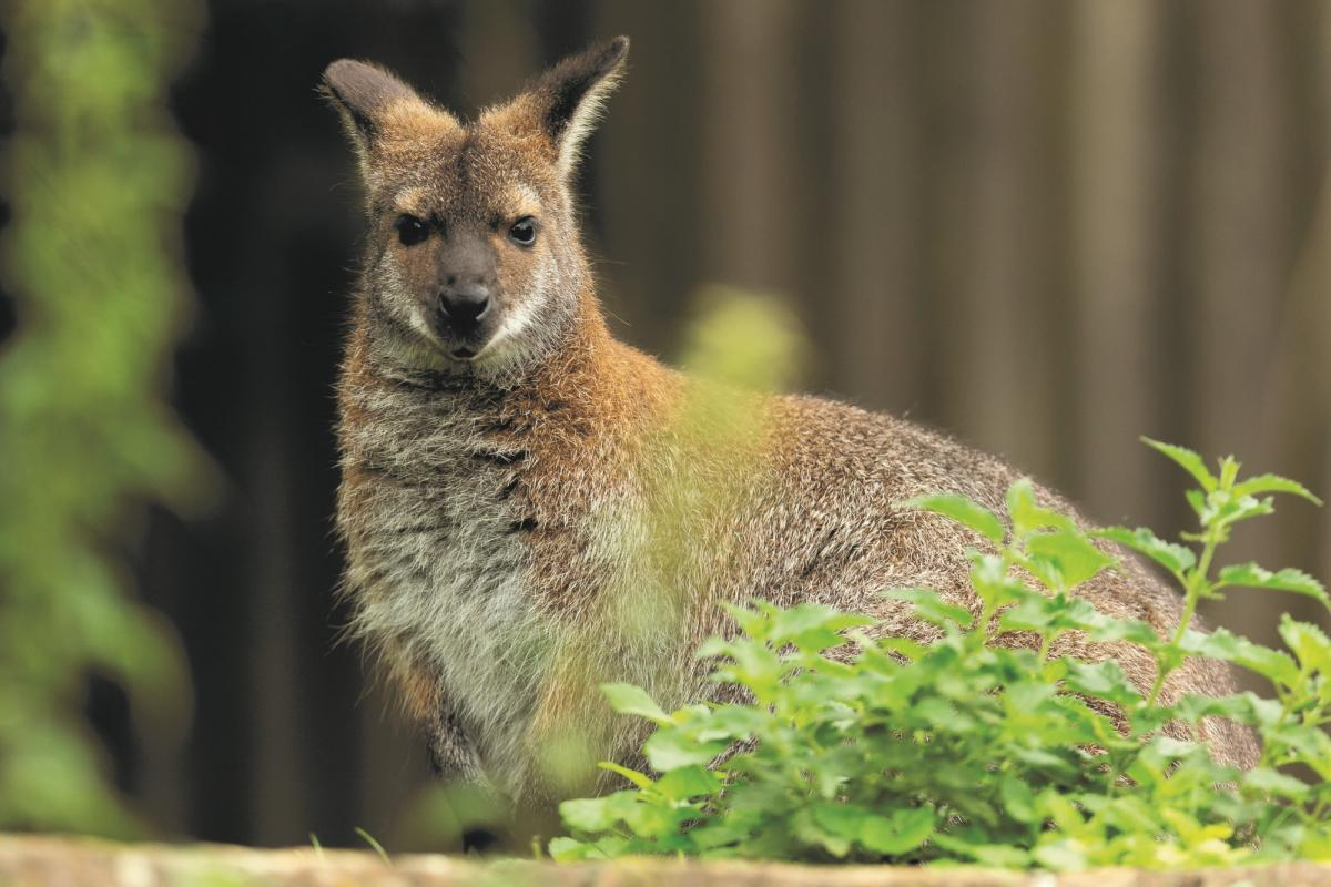 Marwell Zoo - Red-necked wallaby (3)